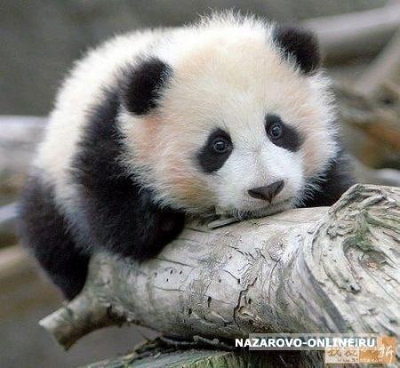 Милые медвежата панды на дереве