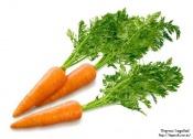 Читатель задаёт вопрос: Почему морковь горчит?