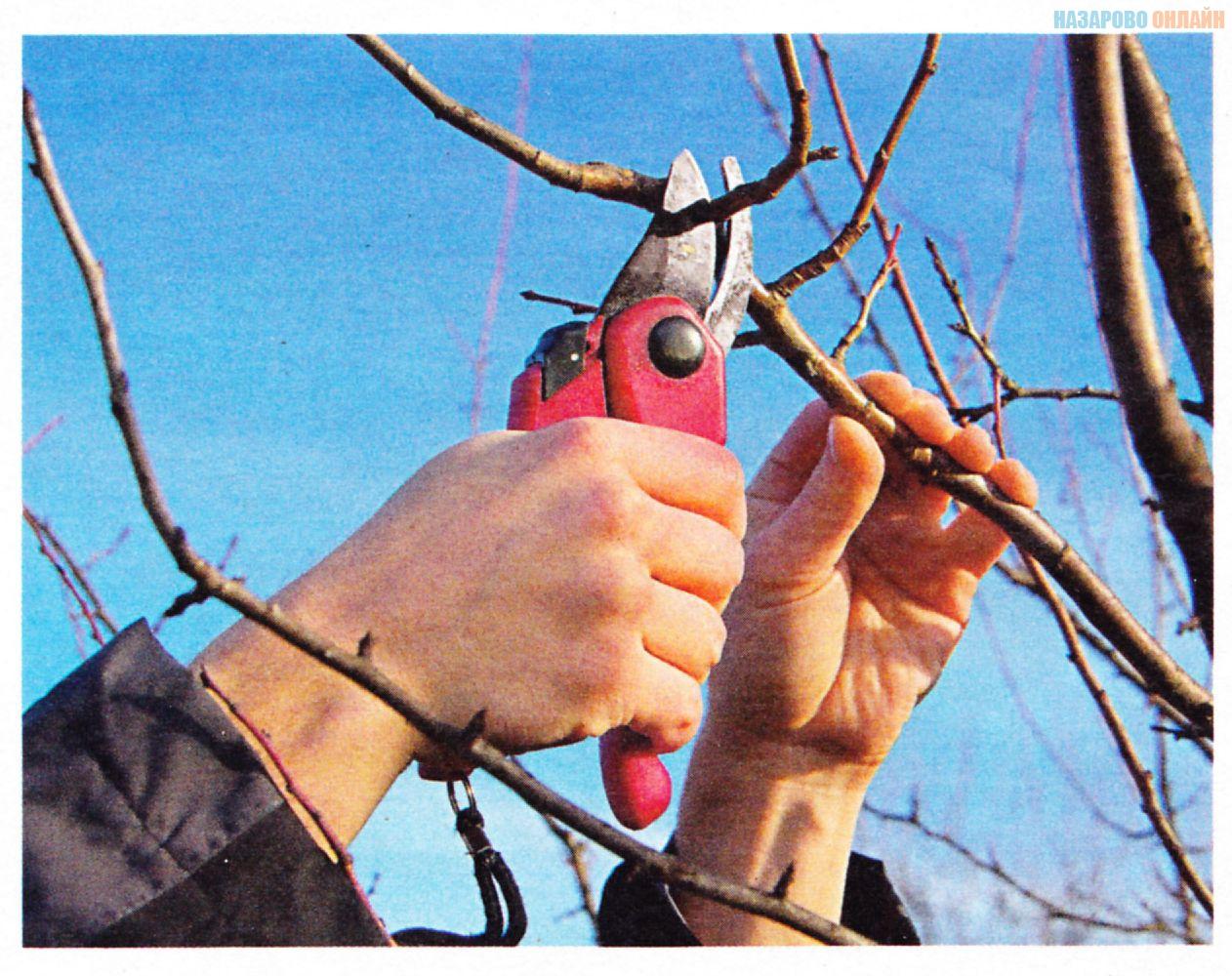 Как правильно сделать ловчие пояса на яблоню