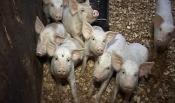 В Ададымском хозяйстве массово гибнут свиньи