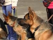 Назаровских собак проверят на послушание