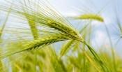 Аграриям Назаровского района осталось убрать 13%