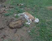 У поселка Назаровского района свалка мертвых животных