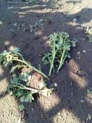 Назаровские садоводы подсчитывают убытки