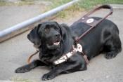 Собака-поводырь жителя города Назарово живет в краевом центре