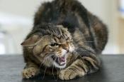 В Назаровском районе домашняя кошка заболела бешенством