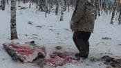 По делу о расстрелянных варварски кабанах пока не озвучивают результаты