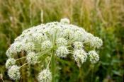 В городе Назарово вблизи жилых домов растет крайне опасное растение