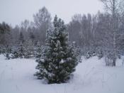 Рубить ёлки в лесах запрещено. Новый год предлагают встречать без штрафов