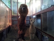В городе Назарово гастроли зоопарка задержала родившаяся альпака. Детеныша  назвали Назарина
