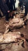В Назаровском районе браконьеры убили краснокнижных косуль