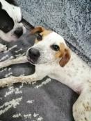 Молодая собачка Лора нашлась. Теперь она ищет новый дом и хороших хозяев
