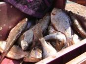 Нерест начался. В городе и Назаровском районе действует запрет на рыбалку