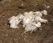 В городе Назарово бродячие собаки уничтожили более ста кур в частных дворах