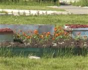 Назаровцы продолжают воровать и уничтожать цветы с городских клумб
