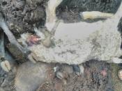 Бродячие собаки уничтожили стадо баранов в частном секторе города Назарово