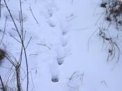 У браконьеров, расстрелявших семью кабанов, есть все шансы избежать наказания