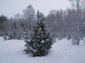 Ели и пихты в Красноярском крае взяли под охрану