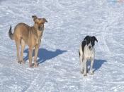 Город Назарово в осаде бродячих собак. Когда начнется отлов никто не знает