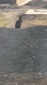 Блудный кролик вернулся к хозяевам в городе Назарово спустя зиму