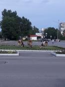 Назаровцы возмущаются гуляющими коровами, но восхищаются лошадьми