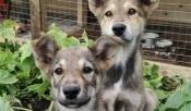 Беспризорных собак с предприятий города Назарово бесплатно простерилизуют