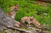 В заказнике на границе с Назаровским районом живут дикие кошки