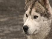 На трассе на выезде из города Назарово у придорожного кафе поселился пёс