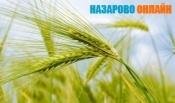 Назаровский район вошел в лидеры уборочной кампании нашего региона