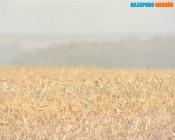 В Назаровском районе под снегом оказалась часть урожая зерновых