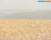 Назаровский район вновь вошёл в лидеры края по урожайности