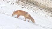 На западе края всё чаще стали видеть диких лисиц (видео)